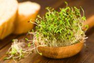 Alfalfa Sprossen für Salat und Sandwich